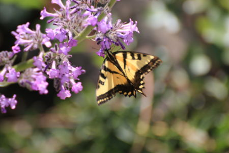 Yellow butterfly on purple flowers
